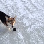 Corghockey le corgy hockey