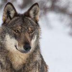 Jean Vacance adorait les loups solitaires